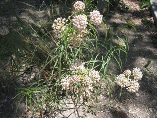 Another overview of Narrowleaf Milkweed blooming in July