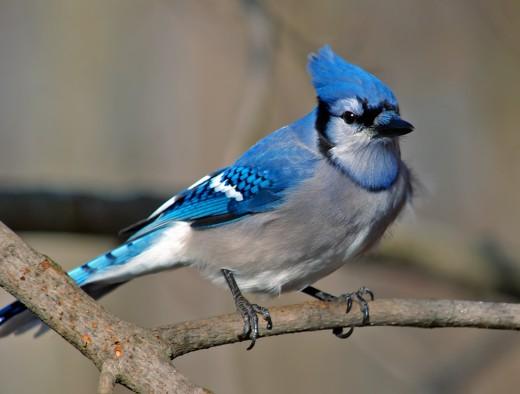 Lone Blue Jay