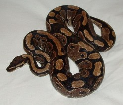 The Best Pet Snake, A Ball Python