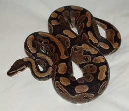 The Ball Python Is One Of The Best Snakes For A Person Wanting To Keep A Snake As A Pet