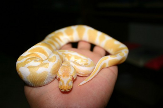 Here is a beautiful Albino Ball Python