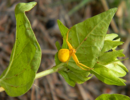 This striking golden spider was climbing on a Four-o-clock stem.  He clung to the leaf like he knew an earthquake was coming. It was, but photography came first. After a few shots, he drew his arms in close to his head and squeezed small as he could