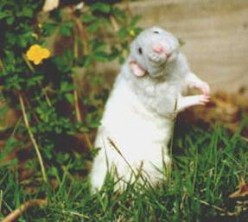 Pet Rats Are Awesome! - Rat Care Tips