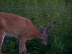 Wildlife in the wild - deer