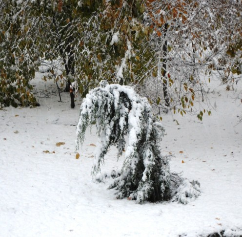 A tree weighed down with heavy snow.