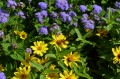 Pairing or Combining Different Colored Flowers in Gardening - Photo Gallery