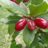 West African Miracle Berry: A Flavor Trip for the Taste Buds