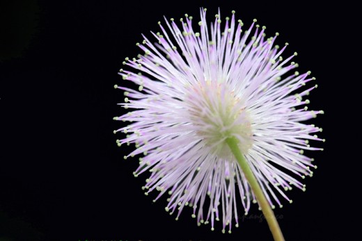Nature's fireworks - Mimosa flower
