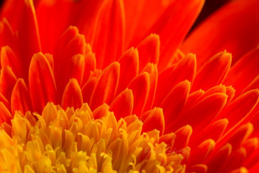 aflame - an orange gerbera daisy