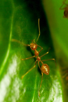 a red ant