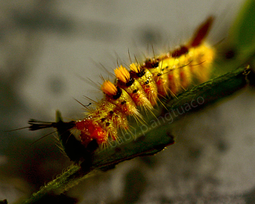 "Creepy, crawly caterpillar or ""higad"" with its bristles"