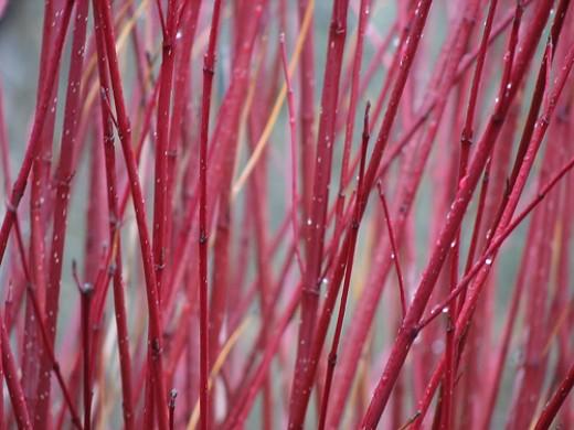 Red Twig Dogwood, by Noël Zia Lee