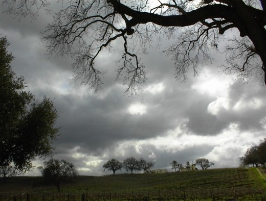 Storm clouds in background of vineyard studded with oak trees.