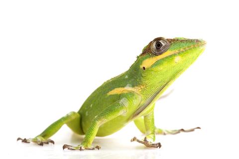 A stunning Cuban Knight anole, a lizard that reaches a considerable size.