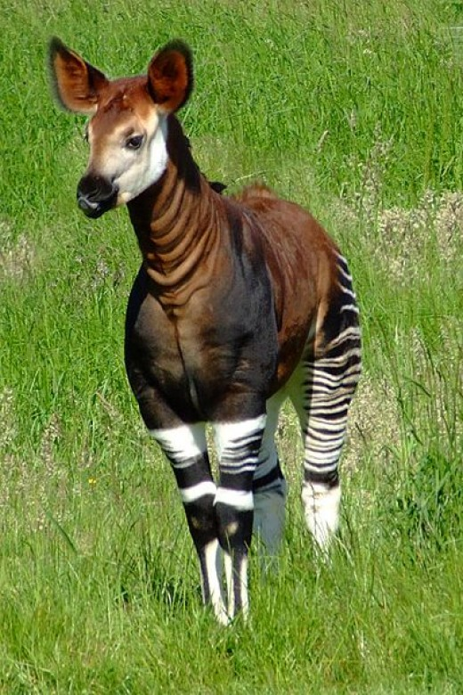 Okapi was thought of as an African donkey called Atti that were half zebra and half giraffe