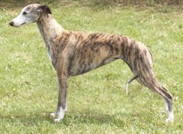 This is roughly how Bajazzo looked like. He was more grey than brownish.