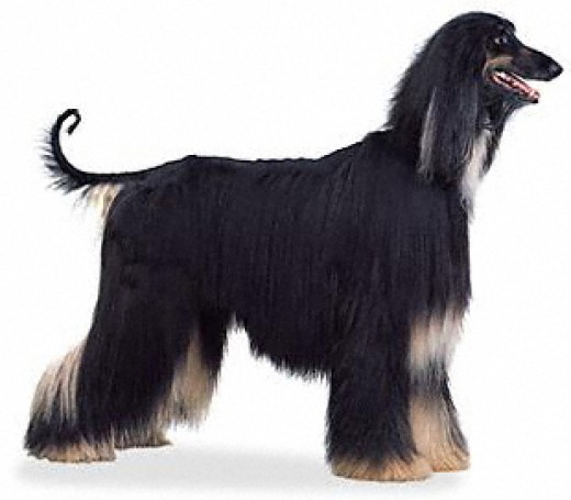 Fatime looked like this dog. She had the beautiful long coat; a nightmare to brush. She was so elegant and gentle. She had her jar broken when she got into it with Barbarella.
