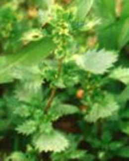 Urtica urens stinging nettle