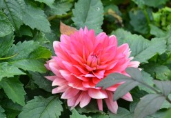 Dahlia Flowers in Gardens - A Photo Gallery
