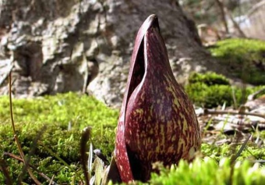 Rising from the moss, a Symplocarpus foetidus flower.  Need I mention tremors again?