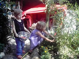 harvesting cherry tomatoes