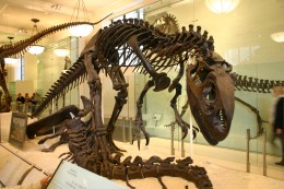 Allosaurus skeleton mounted at the American Museum Of Natural History in New York City