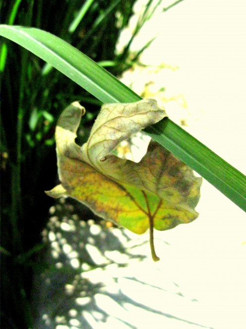A wind-blown sycamore leaf has been caught up on the blade of a New Zealand flax.