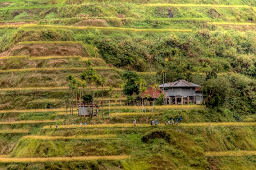 people preparing to harvest rice in one of the terraces