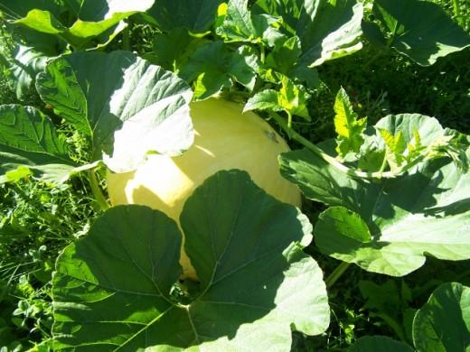 .Pumpkin. garden