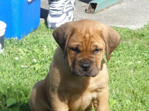 Toby. English Mastiff Puppy. ©2010 Sarah Haworth.