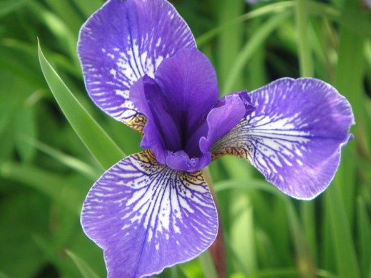 Single Iris. ©2011 Sarah Haworth.