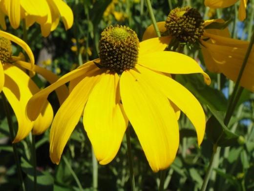 Yellow Flower. ©2011 Sarah Haworth.