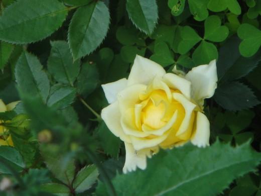 Yellow Rose. ©2010 Sarah Haworth.