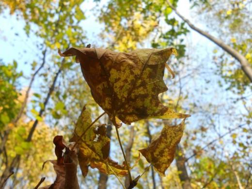 Canadian Maple Leaf. ©2011 Sarah Haworth.