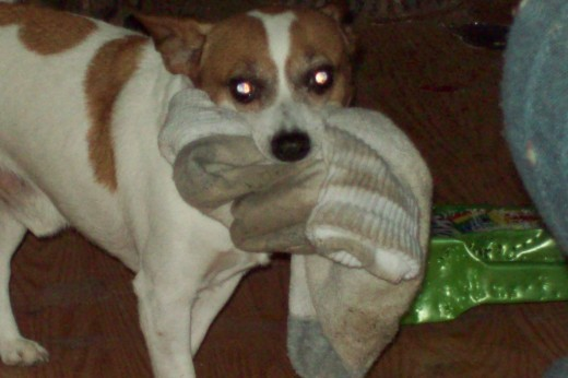 Whimpy loves dirty socks