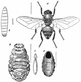 """Image in the public domain. Originally appeared """"The Life-Story of Insects"""" by Geo. H. Carpenter, Cambridge University Press 1913."""