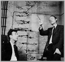 James Watson (Left) & Francis Crick (Right), the model they built of the structure of DNA