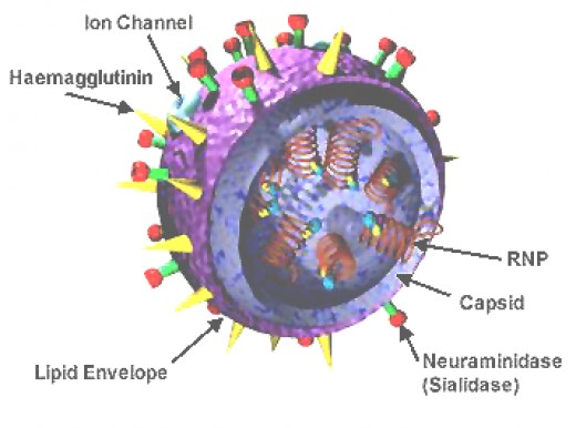 Diagram showing key features of the influenza virus