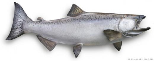 King Chinook Salmon