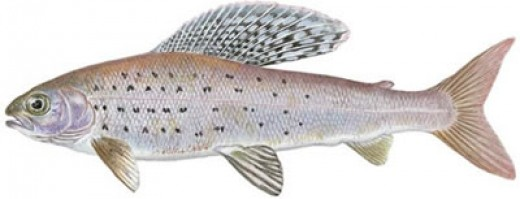 The Arctic Grayling