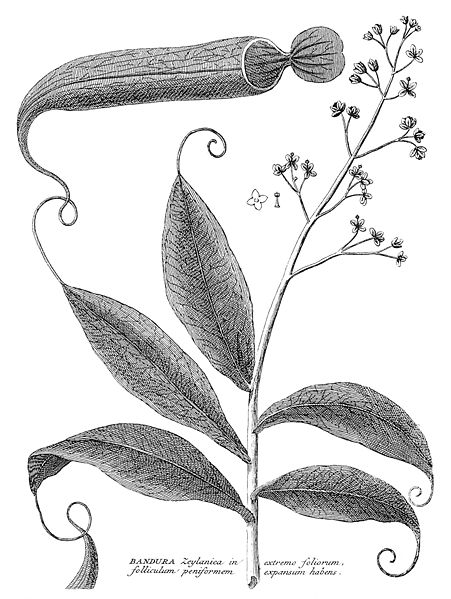 17th century drawing of Nepenthes distillatoria, native from Sri Lanka.