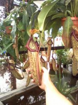 One of its many popular hybrids, in this case Nepenthes x miranda.