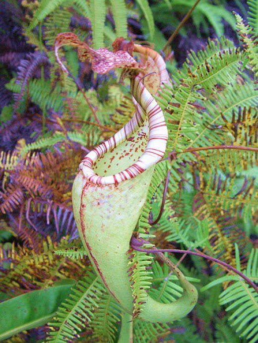 Nepenthes maxima.