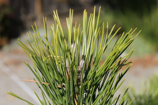 A close look of the leaves of my pine tree