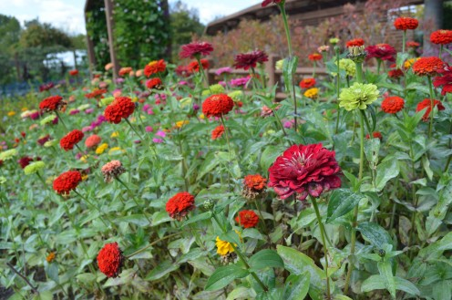 Photo 8 - To me, the red zinnias stand out!