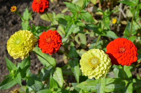 "Photo 6 - Red and Green Zinnia Flowers.  The green ones are called ""Green with Envy""."