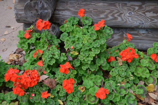 Photo 11 - Red Geraniums