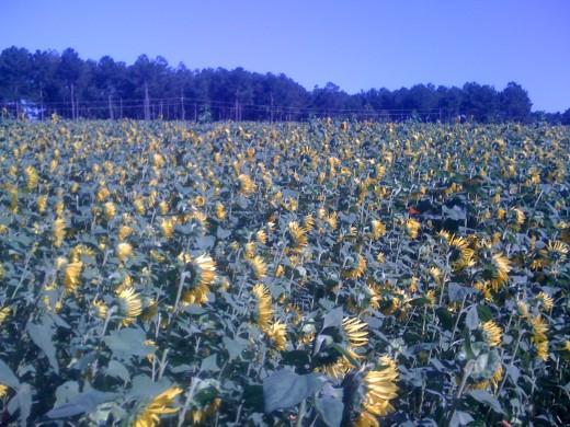 Sunflowers always grow with their faces toward the morning sun.