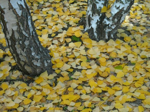 Poplar trees can cover the ground solidly with bright yellow leaves.