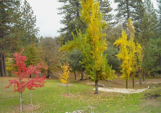 A red Maple and golden Poplars get along well with the  Native Live Oaks and Ponderosa Pines